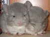 chinchillas-chinclub-2