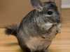 typical-chinchilla