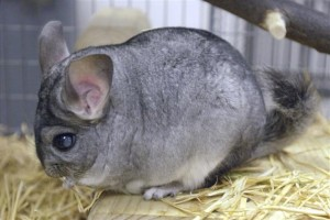 chinchilla-02