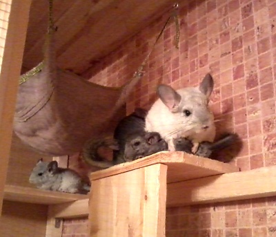 chinchilla-family