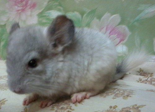 chinchilla-galochka