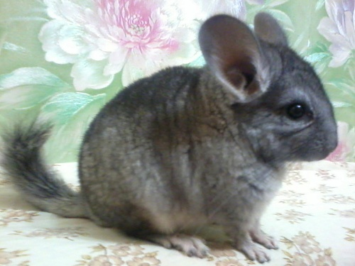 chinchilla-leonard