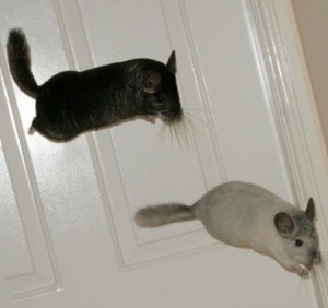 jump-chinchilla